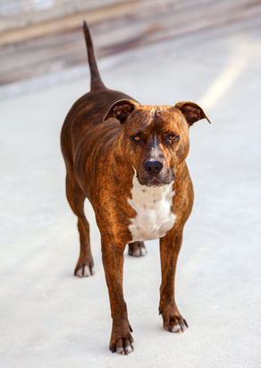 American_Staffordshire_Terrier_Fotolia_62752032_XS