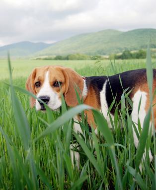 Beagle - Fotolia_50665439_XS