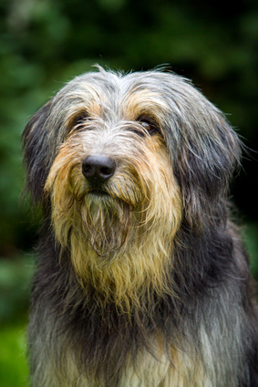 Bearded Collie - Fotolia_51487499_XS