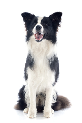 Border Collie - Fotolia_55355551_XS