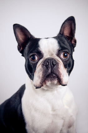 Boston Terrier - Fotolia_50170522_XS
