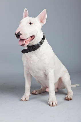 Bull Terrier - Fotolia_55431069_xs