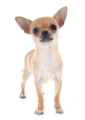 Chihuahua - Fotolia_61889360_xs