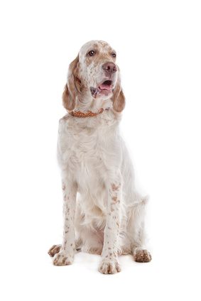 English Setter - Fotolia_36424117_XS