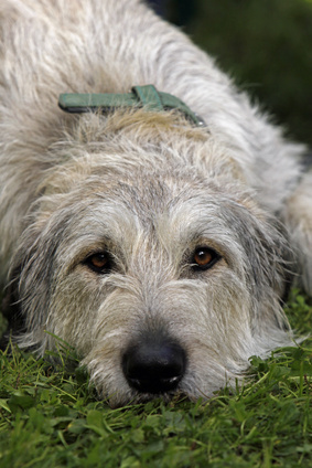 Irischer Wolfshund - Fotolia_36795298_XS