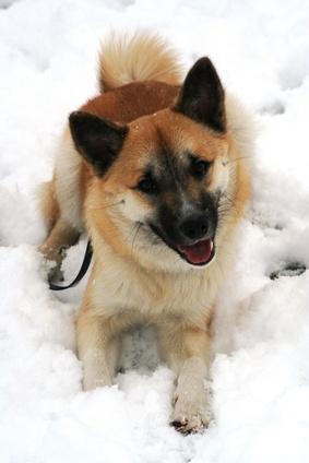 Islandhund - Fotolia_3721106_XS