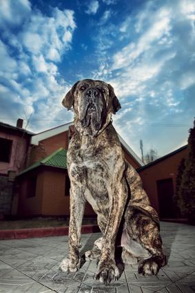Mastiff - Fotolia_62655150_XS