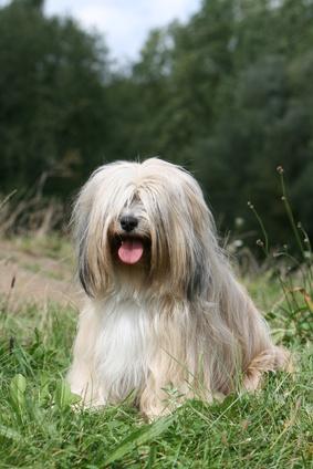 Tibet Terrier - Fotolia_14095227_XS